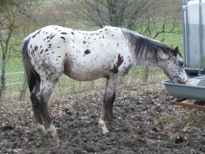 Elevage du Plantaurel poulains et chevaux à vendre P1110110