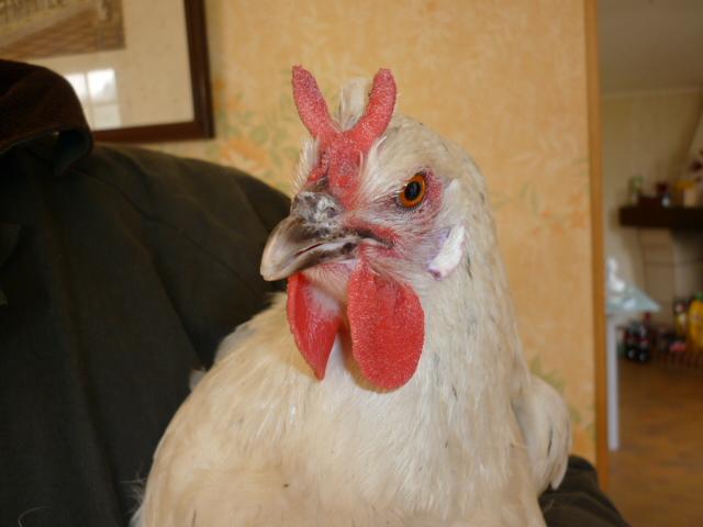 Les poules de grandes races et leurs variétés en photos P1010812