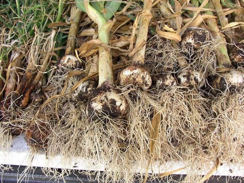 Garlic anyone? P1010044