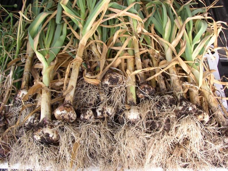 Garlic anyone? P1010046