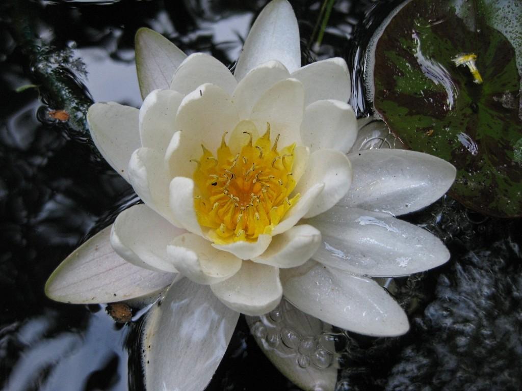 Seerosengewächse (Nymphaeaceae) Img_0168