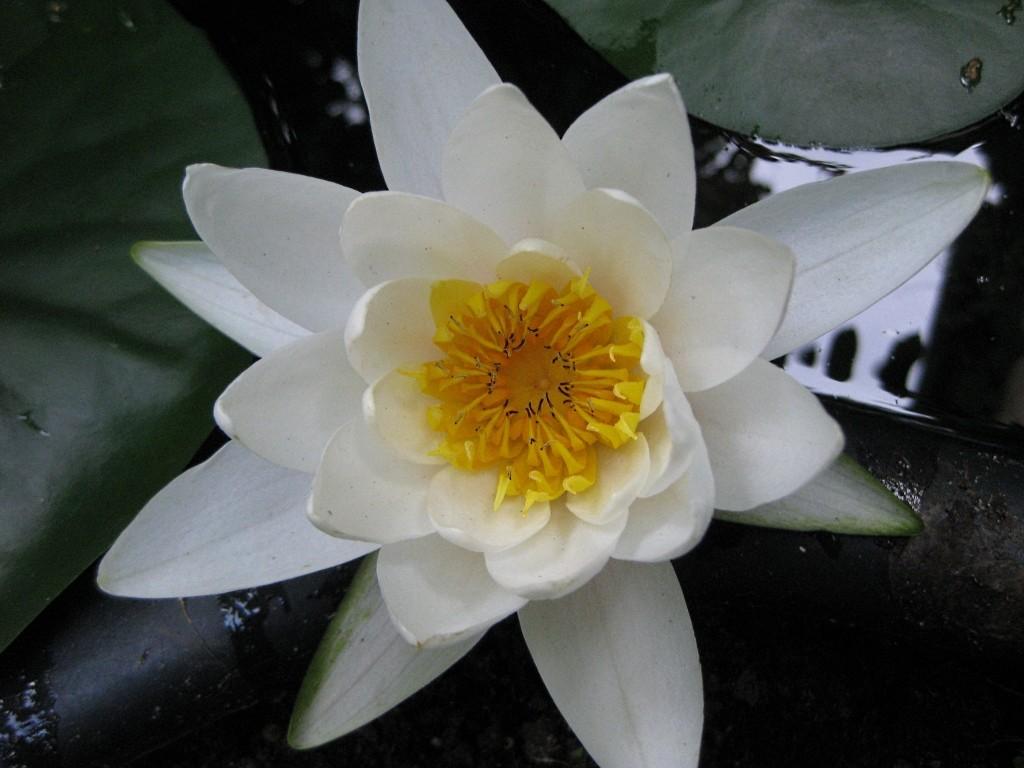 Seerosengewächse (Nymphaeaceae) Img_0169