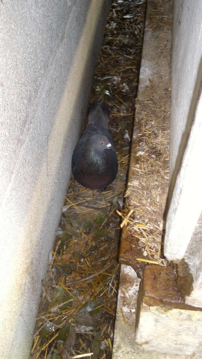 Mes pigeons 2013-025
