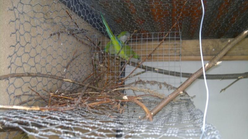 Construction du nid par mes conures souris 2013-028