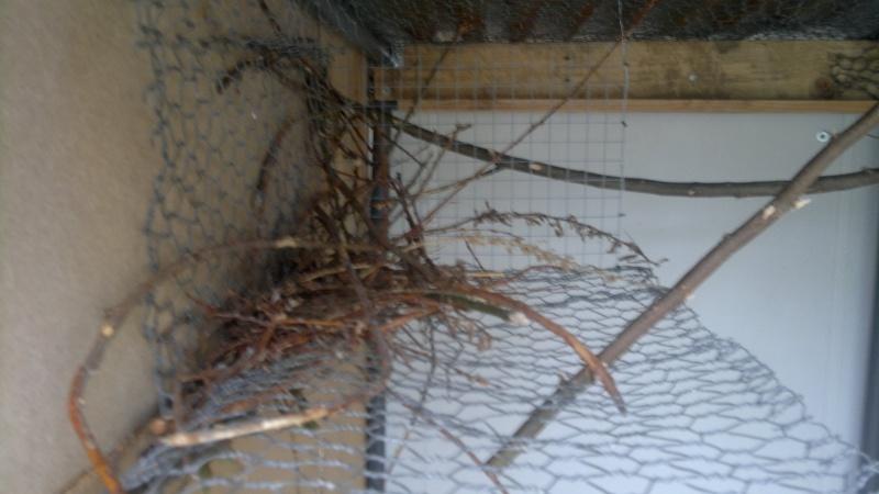 Construction du nid par mes conures souris 2013-029