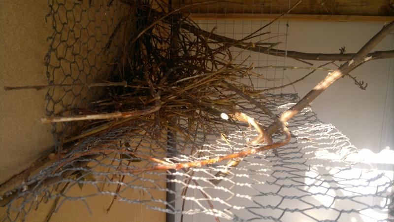 Construction du nid par mes conures souris 2013-030