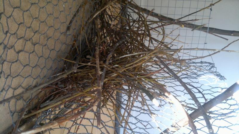 Construction du nid par mes conures souris 2013-031