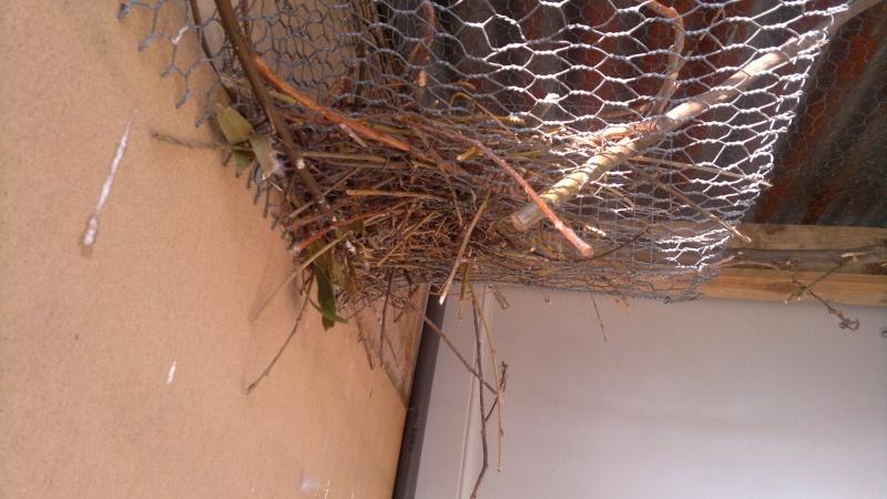 Construction du nid par mes conures souris 2013-032