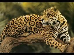 Votre Animal Totem Jaguar10