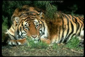 Votre Animal Totem Tigre10