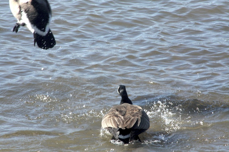 Outardes: Casse-toi, pauv' con Img_2913