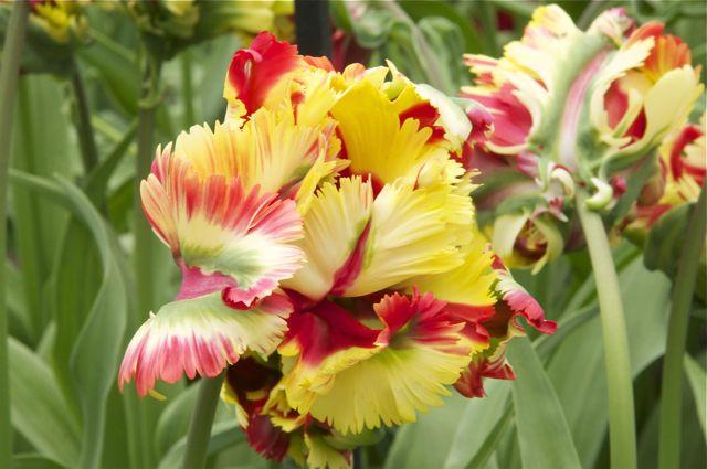 Tulipes, jacinthes et orchidées à Keukenhof _dsc0110