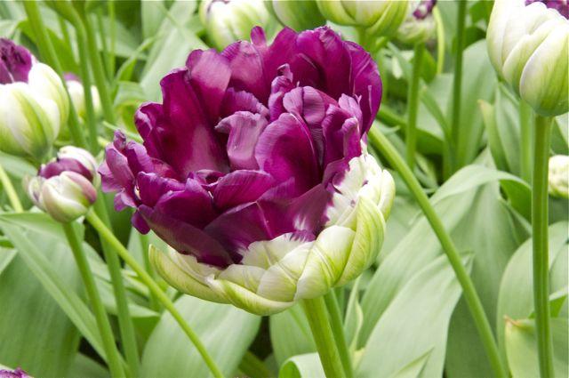 Tulipes, jacinthes et orchidées à Keukenhof _dsc0111