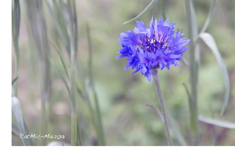 Premières fleurs du jardin Bleuet10