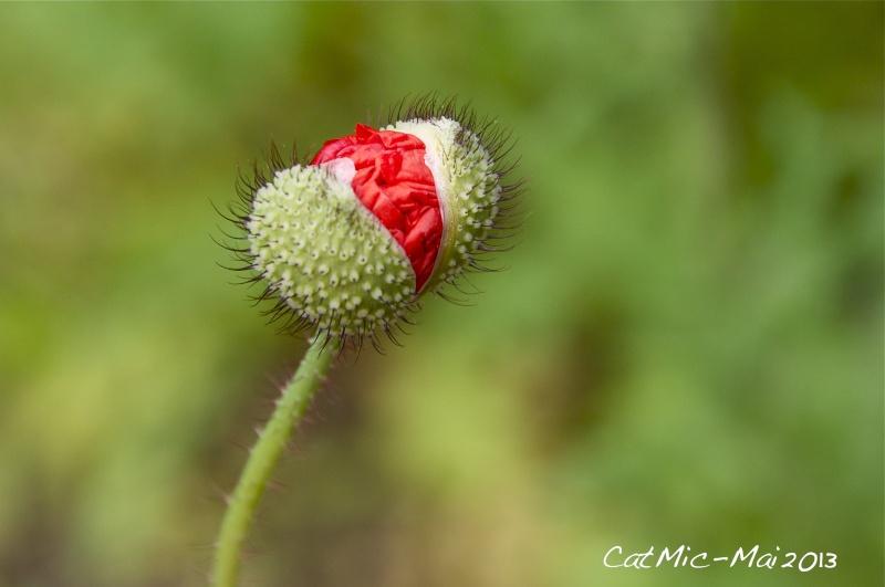 Premières fleurs du jardin Coquel10