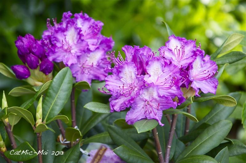 Premières fleurs du jardin Rhodod10
