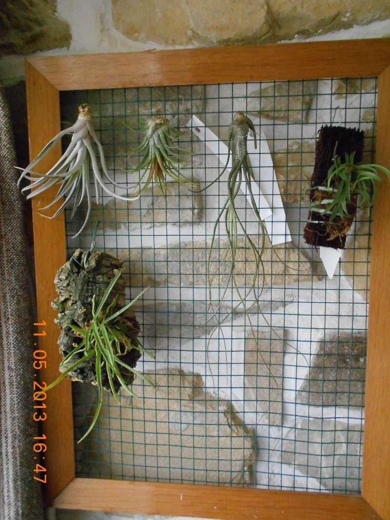 Mini cadre tillandsia et mini orchidée... 00111