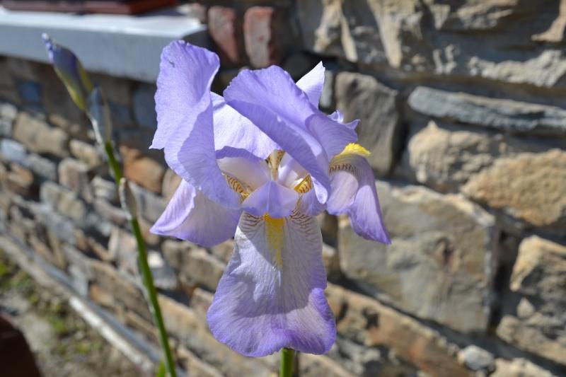 Tous nos iris regroupés ici 00513