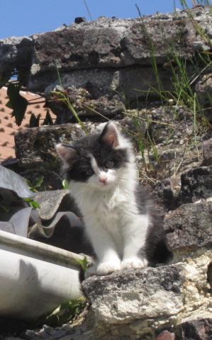 IVAN gentil chaton noir et blanc poil mi long (59) Netbl010