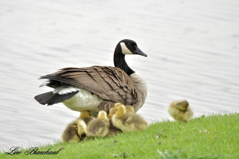 Joli famille de Bernache Maman_10