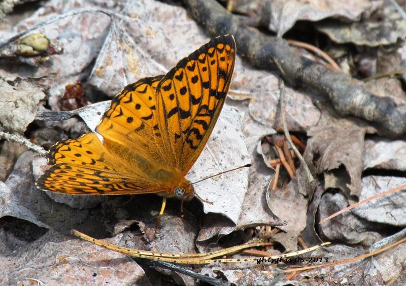 Papillons pas laids du tout Argynn10