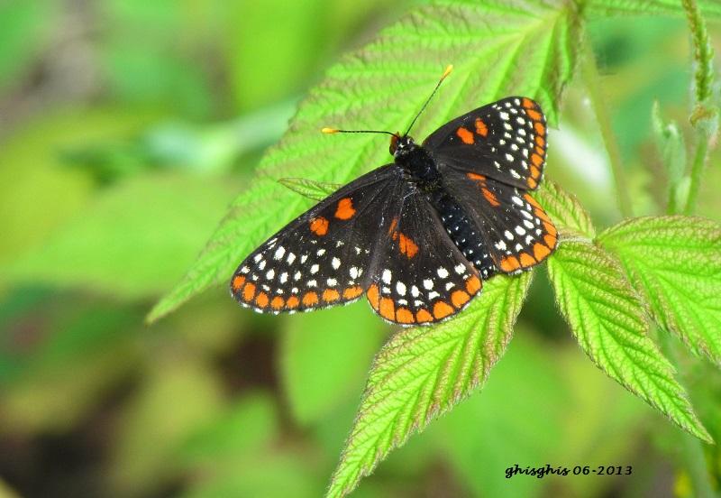 Papillons pas laids du tout Baltim10