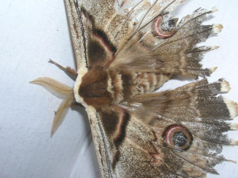 Urgent ! papillon de nuit ! Dscn1715