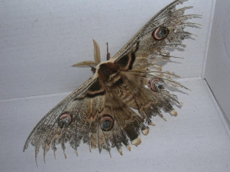 Urgent ! papillon de nuit ! Dscn1716