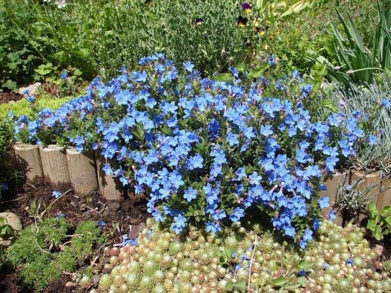 Portrait du mois de mai : Lithodora diffusa 'Heavenly Blue' 00510