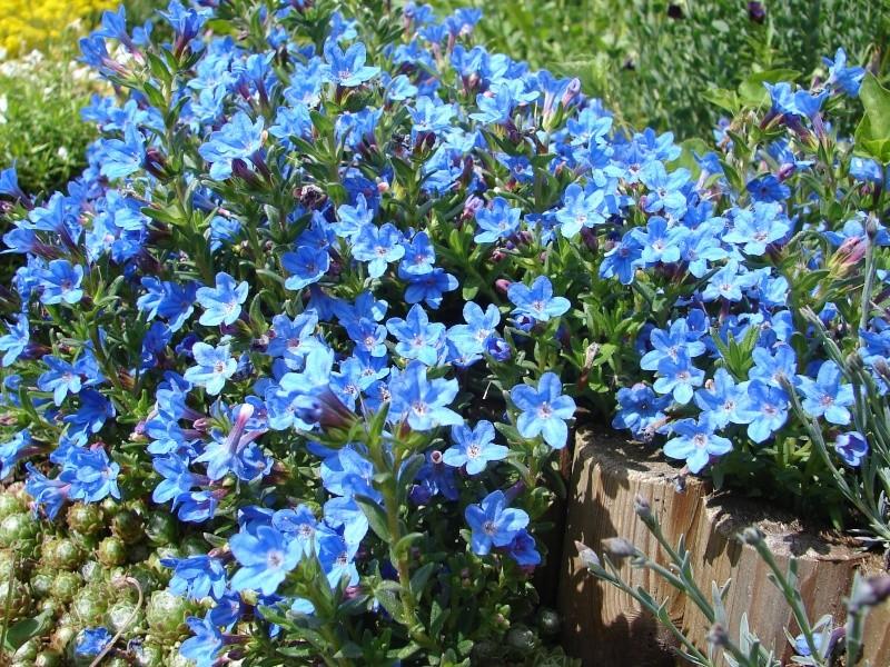 Portrait du mois de mai : Lithodora diffusa 'Heavenly Blue' 00910