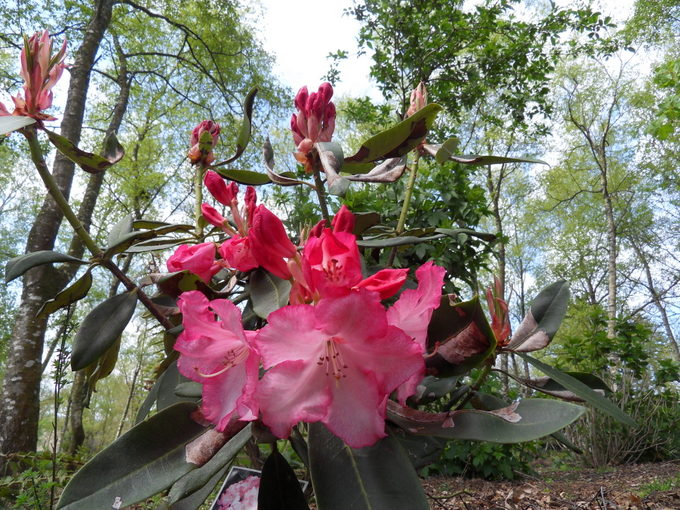 rhododendron - Page 5 13-sdc10