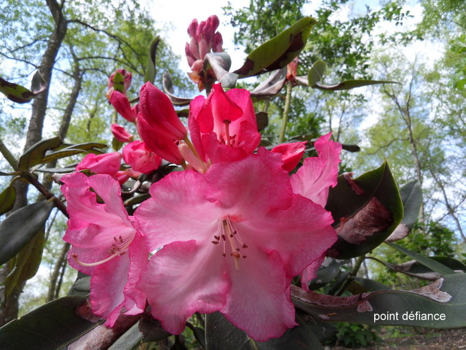 rhododendron - Page 5 14-sdc10