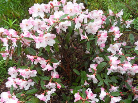 rhododendron - Page 6 18-sdc10