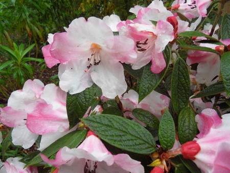 rhododendron - Page 6 19-sdc10