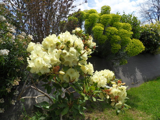 rhododendron - Page 5 32-sdc11