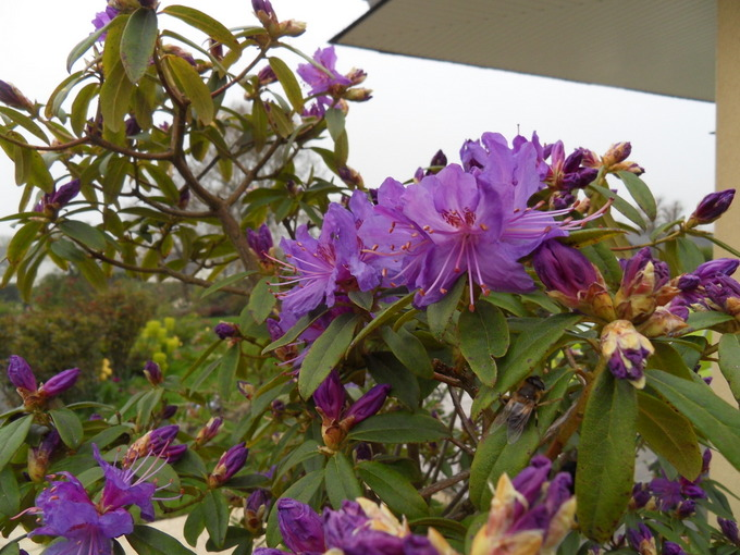 rhododendron - Page 4 Sdc17319