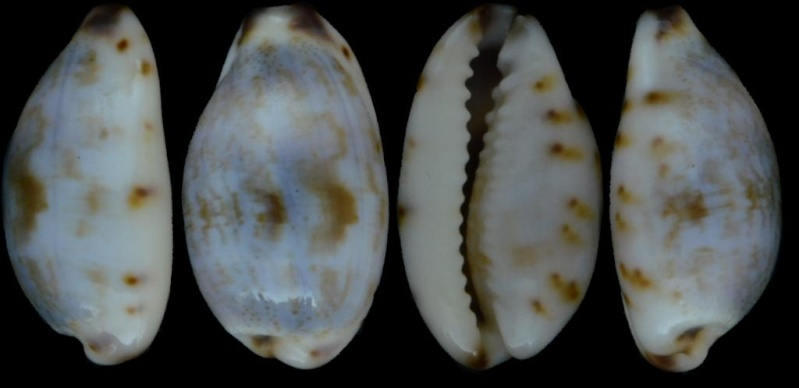 Purpuradusta gracilis notata - (Gill, 1858) Cyprae15