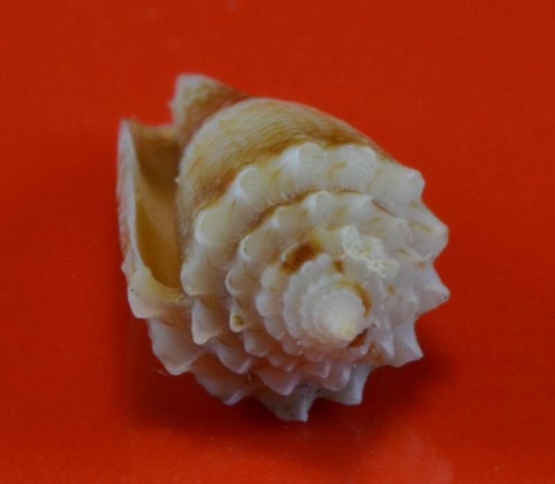 Conus (Stephanoconus) chiangi   Azuma, 1972 Dsc_2211