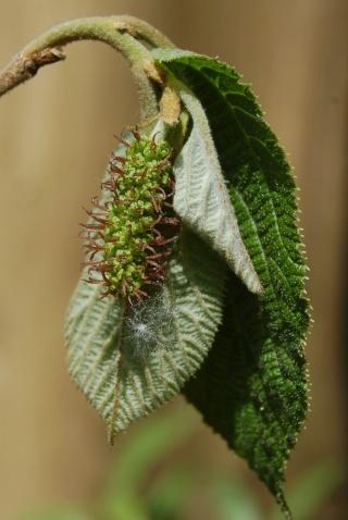 Sinowilsonia henryi Dsc_0012