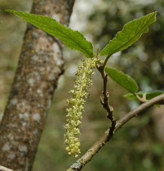 Sinowilsonia henryi Dsc_0013