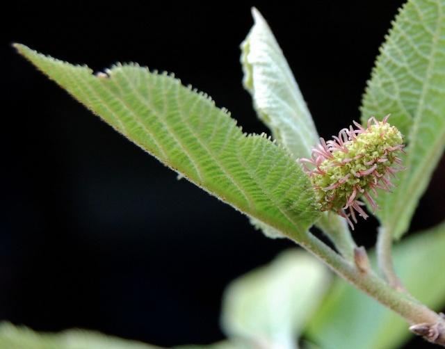 Sinowilsonia henryi Dsc_0015