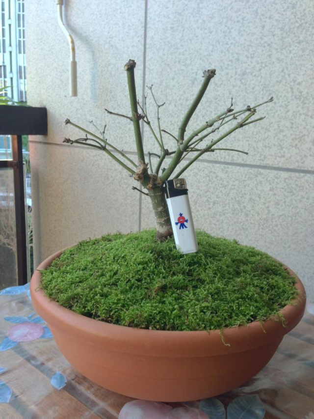 Vi presento il mio...Acero Giapponese Wb30ih11
