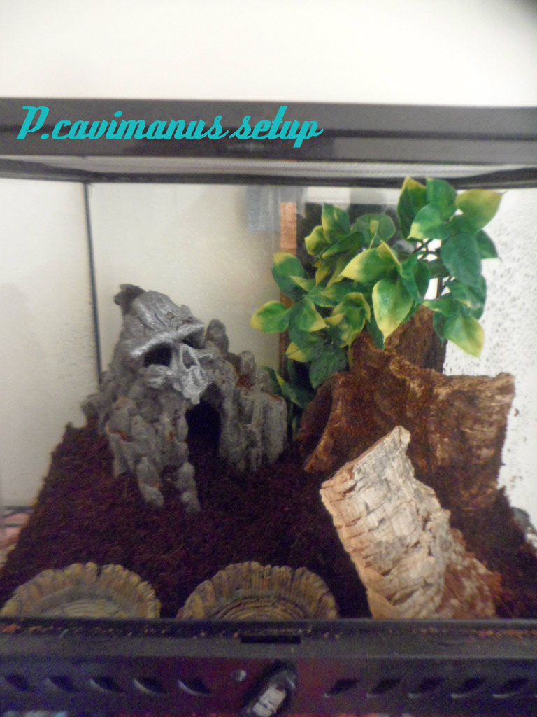 Hadrurus arizonensis, Heterometrus swammerdami and Pandinus cavimanus have arrived P_cavi14