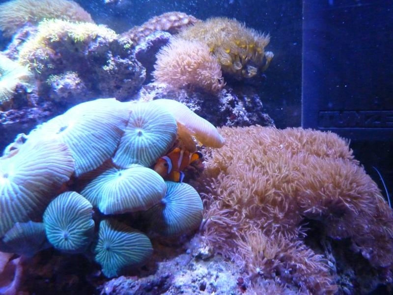 Micro reef de 120l: c'est parti! P1010513