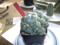 Lophophora williamsii var. caespitosa 40 button cluster. $250. 02810