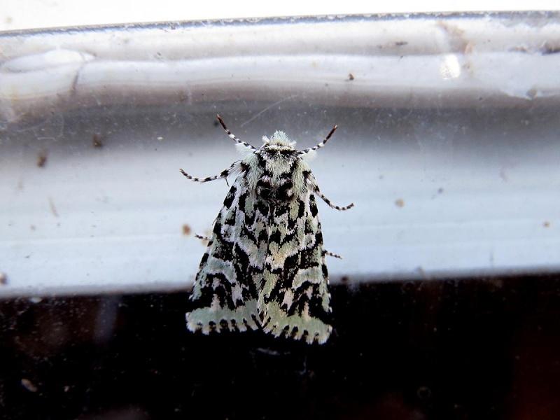 Papillons à identifier Papill11