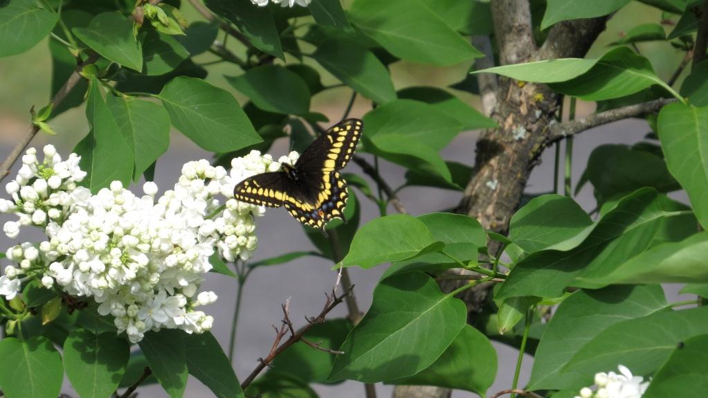 Papillon queue-courte et sphinx du saule Papill12