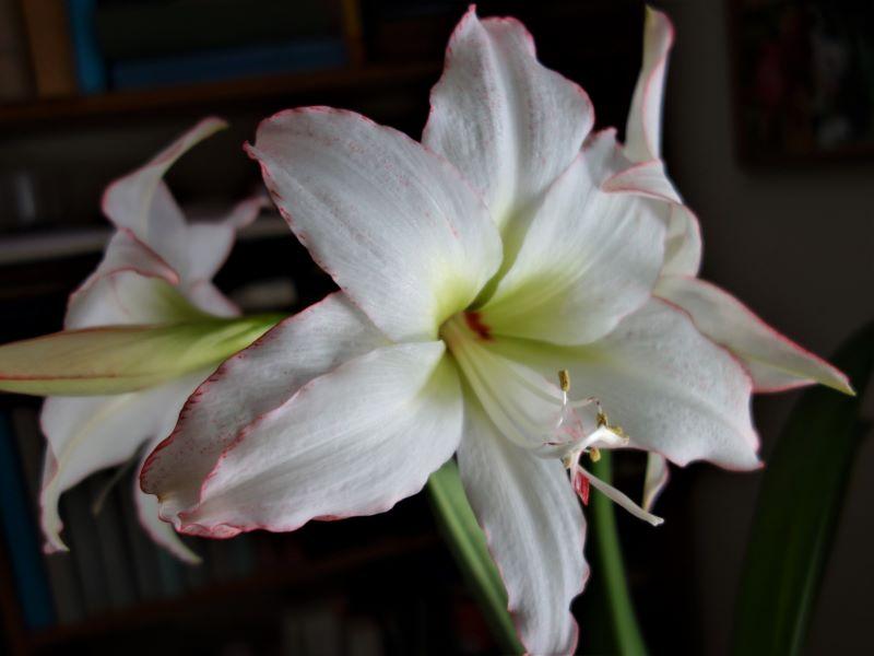 Amaryllisgewächse - Amaryllidaceae (Hippeastren, Nerine, Amaryllis, Agapanthus und auch Allium & Narzissen) - Seite 59 Amaryl20