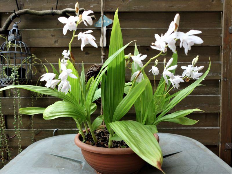 Orchideen 3 (fortlaufende Seiten 300 bis 400) - Seite 58 Bletil24