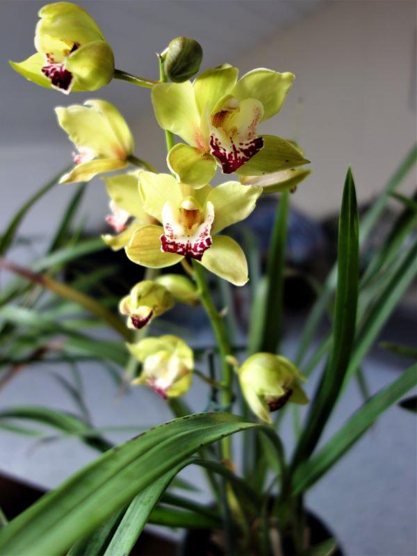 Orchideen 3 (fortlaufende Seiten 300 bis 400) - Seite 67 Cymbid11